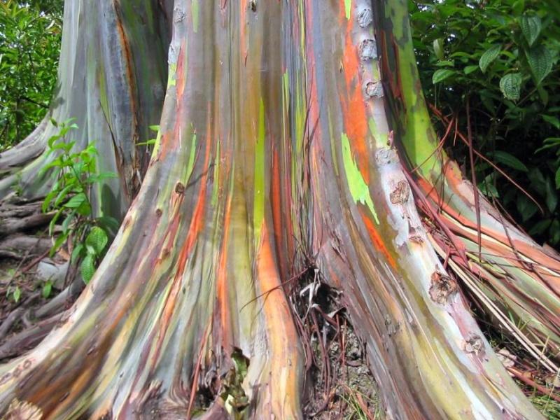 Eucalyptus  Eucaly11