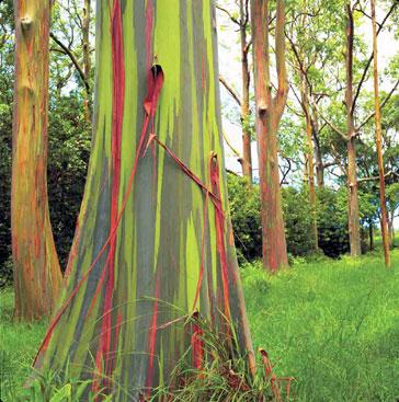 Eucalyptus  Eucaly12