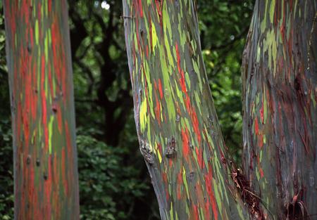 Eucalyptus  Eucaly13