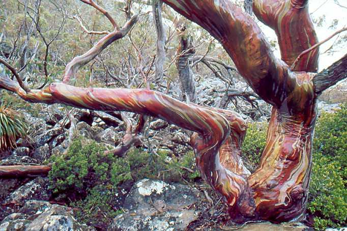 Eucalyptus  Snowgu12