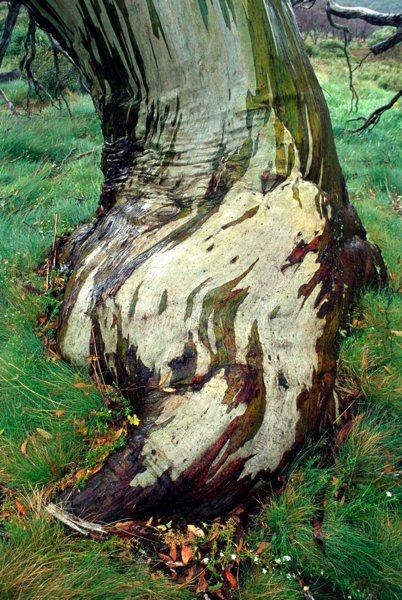 Eucalyptus  Snowgu13