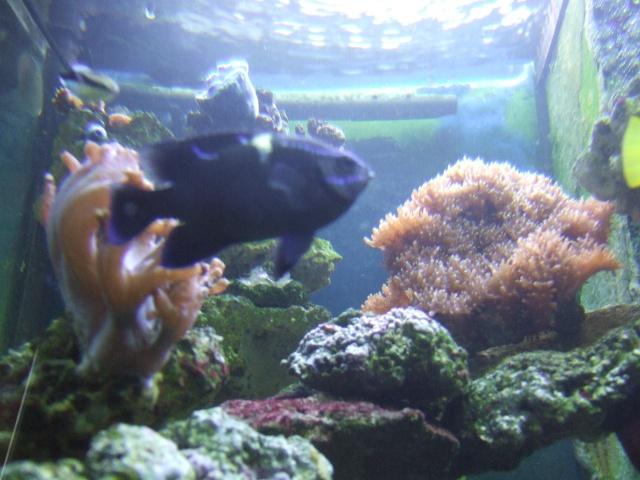 nouvel aquarium eau de mer Dscf0616