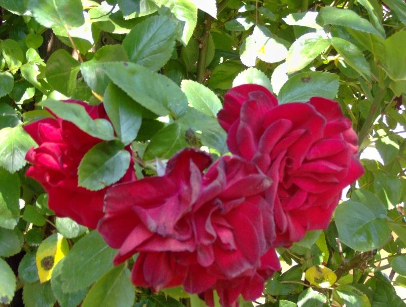 Qui connaît ces belles roses rouges ? I2010_11