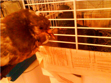 Help! My little pigeon is seriously ill! - Page 5 Dsc00013