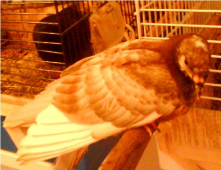 Help! My little pigeon is seriously ill! - Page 5 Dsc00014