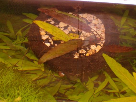 jardinière d'aquarium en noix de coco Articl10