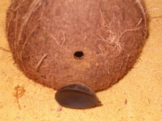 jardinière d'aquarium en noix de coco Coco0013