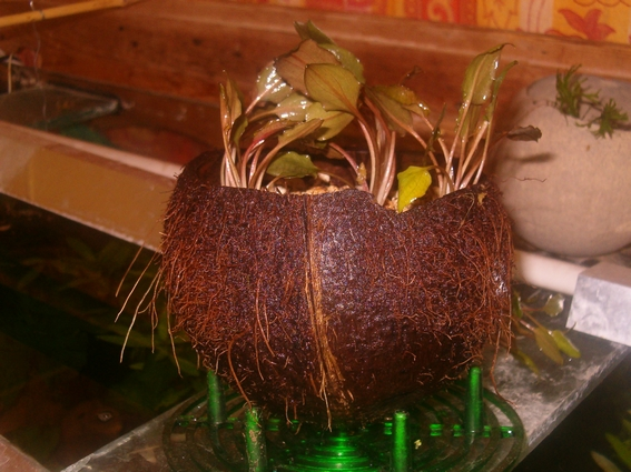 jardinière d'aquarium en noix de coco Coco0610