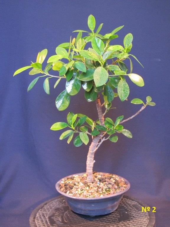 Ficus Panda 2013-010