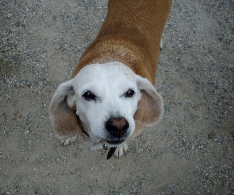 CAPUCINE, croisée beagle femelle, 10 ans (44) Capuci10