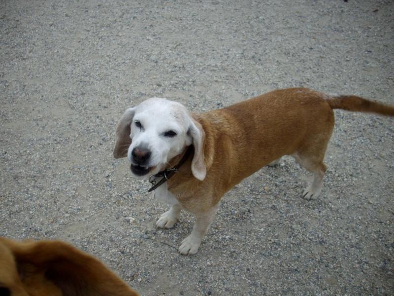 CAPUCINE, croisée beagle femelle, 10 ans (44) Capuci11