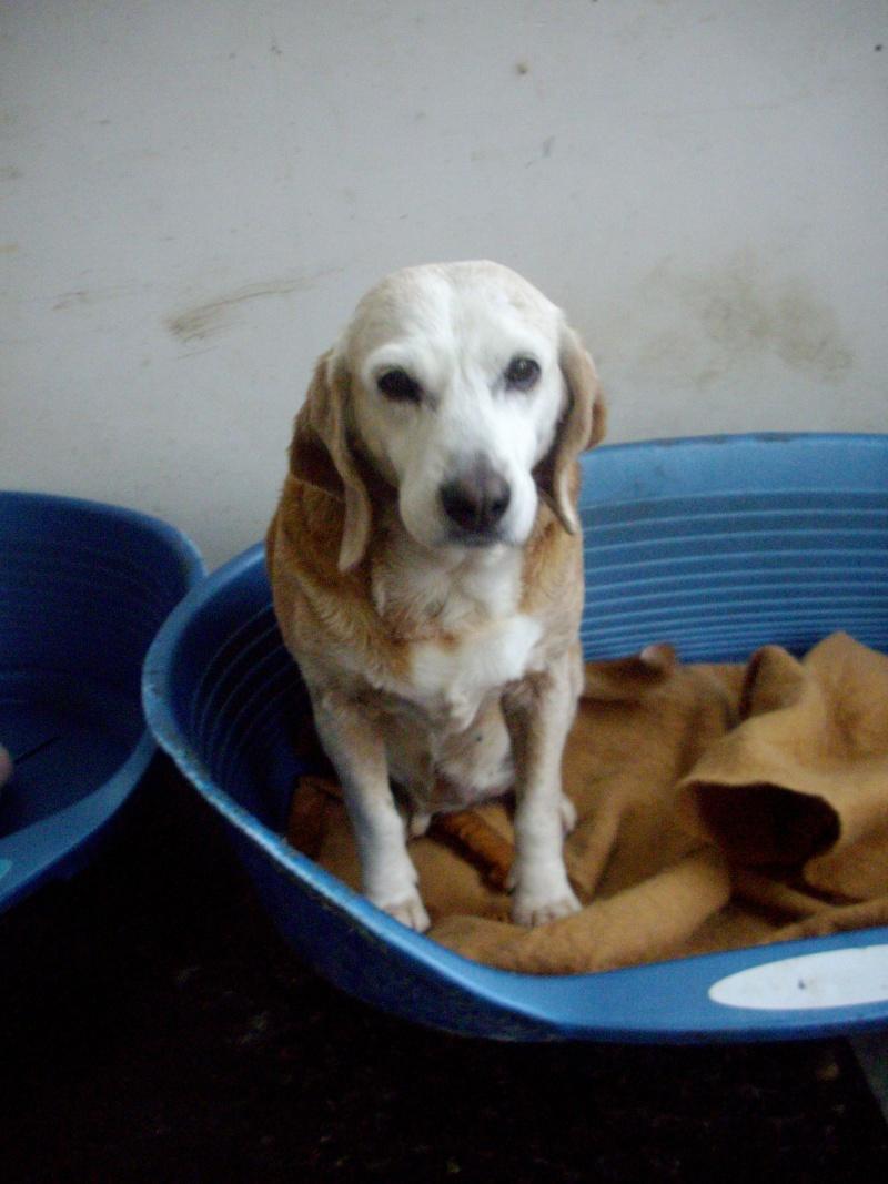 CAPUCINE, croisée beagle femelle, 10 ans (44) Imgp2910