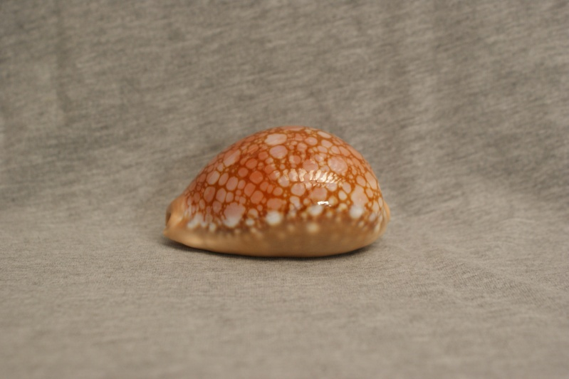 Callistocypraea broderipii - (Gray, 1832) Dsc09521
