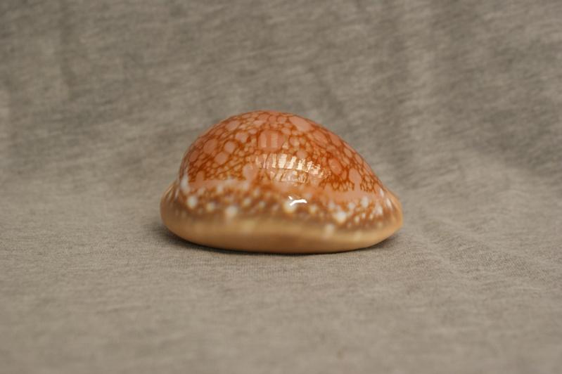 Callistocypraea broderipii - (Gray, 1832) Dsc09522