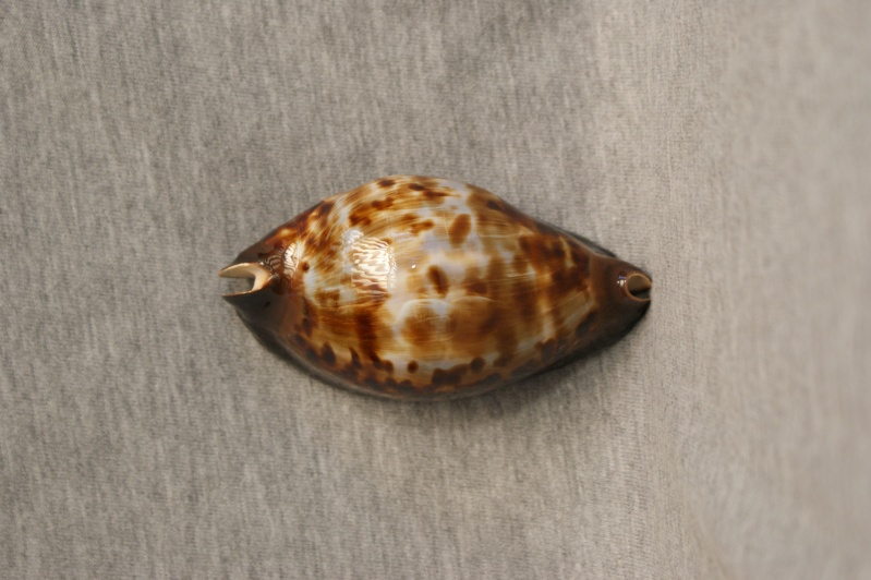 Zoila jeaniana thalamega - Lorenz, 2002 Dsc09539