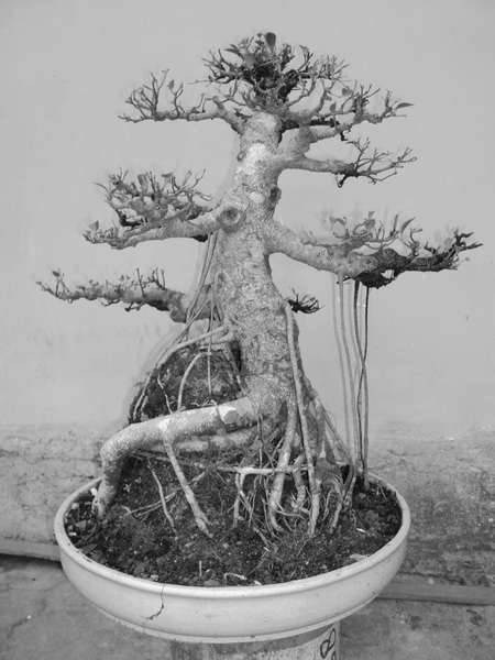 Kengai Ficus Dsc01710