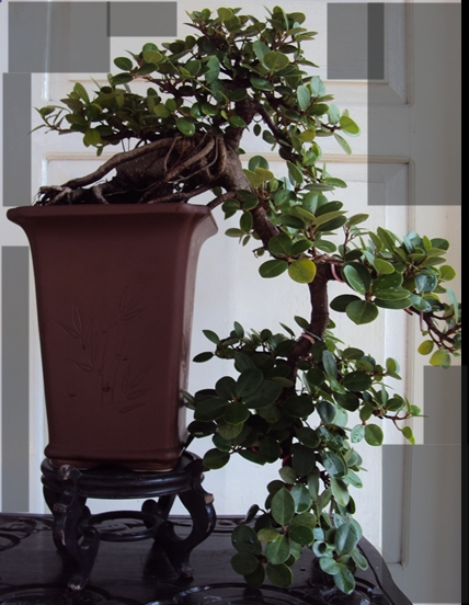 Kengai Ficus Kengai11