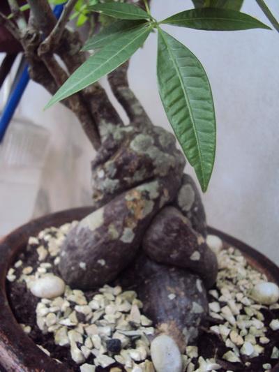 Money Tree, Pachira aquatica Pachir10