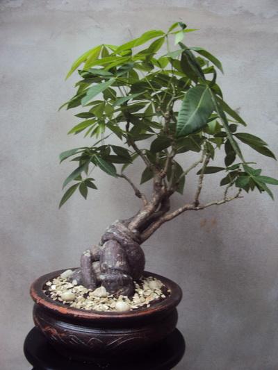 Money Tree, Pachira aquatica Pachir12