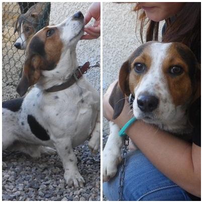 Croisé beagle/Basset mâle, 4 ans, recherche famille Ringo10