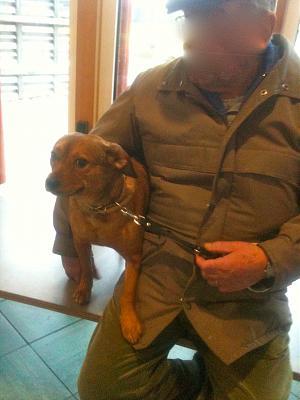 Louna, femelle croisée pinscher de 4 ans (Chartres) Img_1112