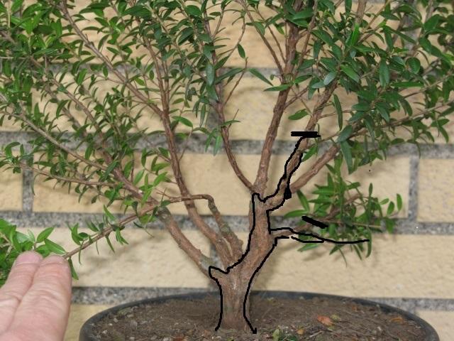 da mirto da vivaio a futuro bonsai Img_2812