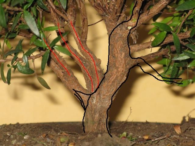 da mirto da vivaio a futuro bonsai Mirto_10