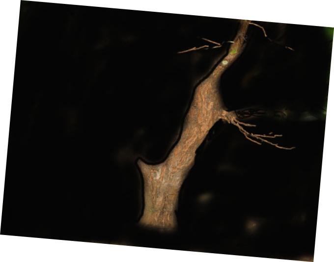 da mirto da vivaio a futuro bonsai Mirto_11