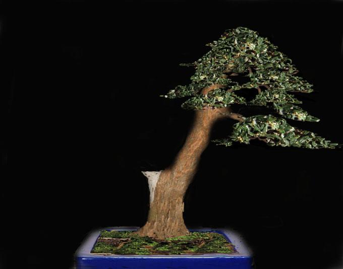 da mirto da vivaio a futuro bonsai Mirto_12