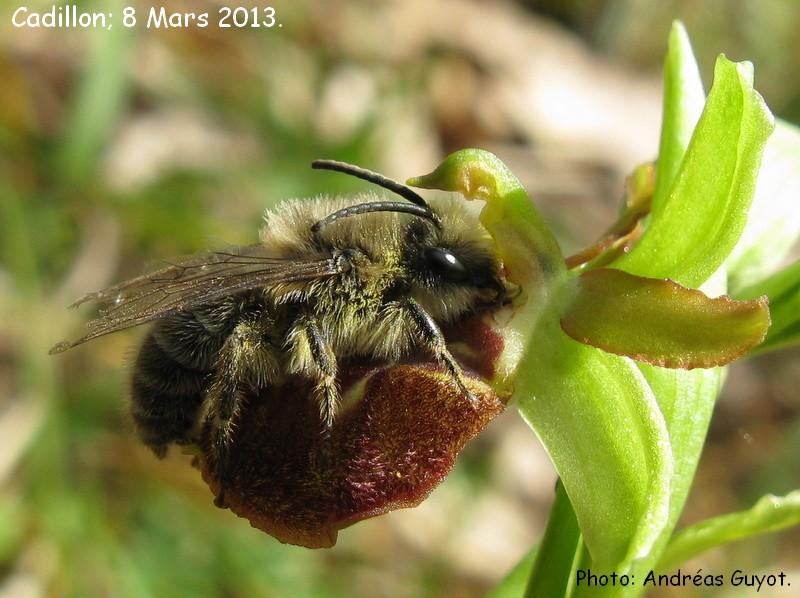 Ophrys exaltata marzuola (Ophrys de Mars ) Img_0013