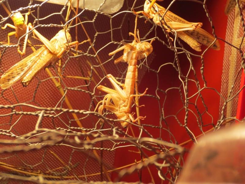 Elevage de Criquets Migrateurs Photo_16