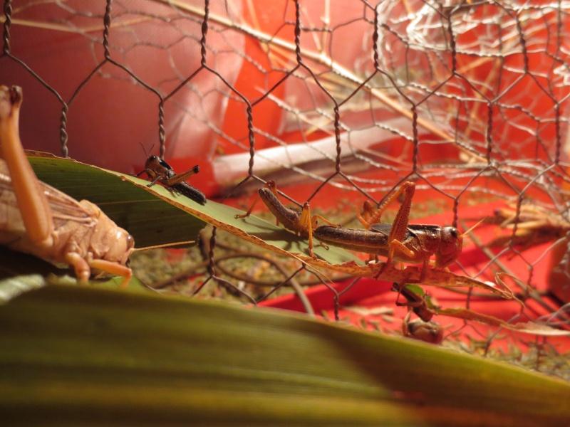 Elevage de Criquets Migrateurs Photo_22