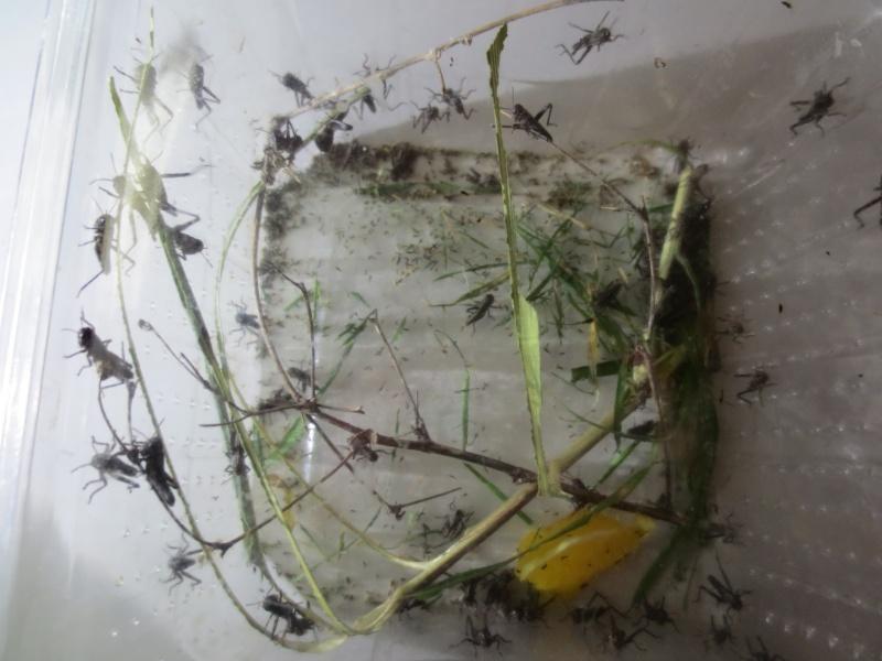 Elevage de Criquets Migrateurs Photo_32
