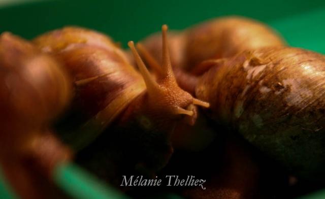 Achatina Fulica adultes et bébés 2013_080
