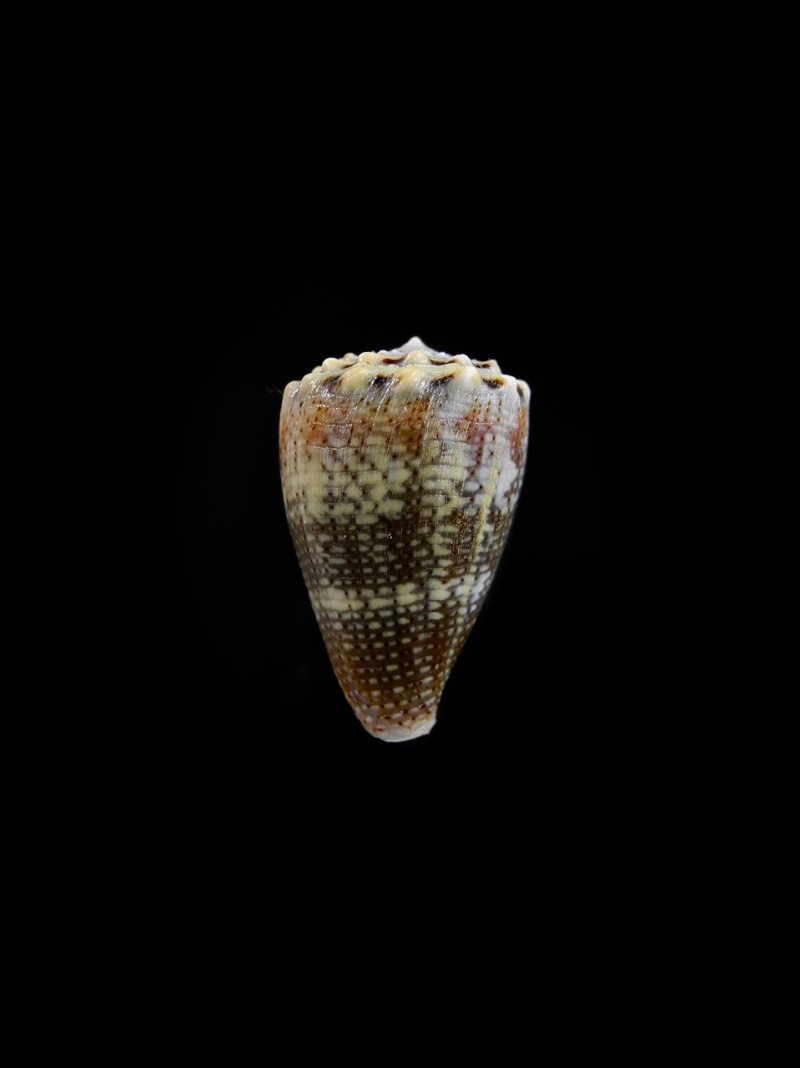 Conus (Virroconus) encaustus Kiener, 1845 Dscn2610
