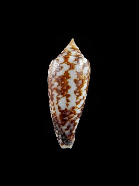 Conus (Phasmoconus) lienardi  Bernardi & Crosse, 1861 - Page 2 Image_10