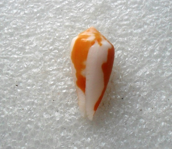 Conus (Pionoconus) robini  Limpalaer & Monnier 2012 - Page 2 Kgrhqi11