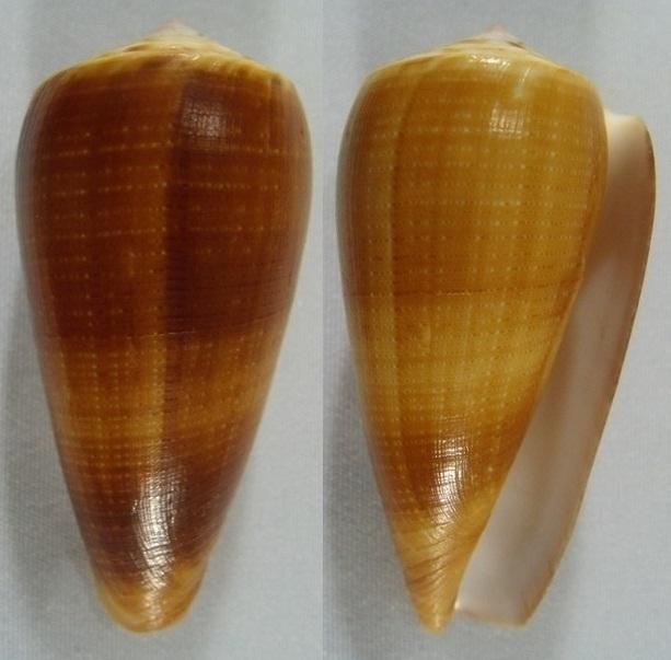 Conus (Pionoconus) carinatus (Swainson, 1822) voir Conus (Pionoconus) magus Kgrhqr10