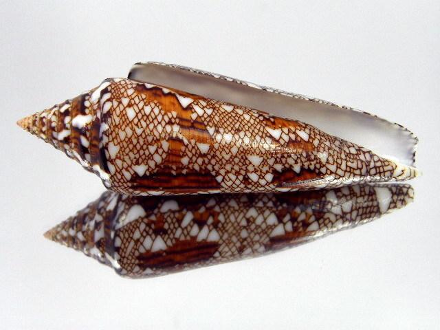 Conus (Cylinder) bengalensis   Okutani, 1968 Kgrhqz12