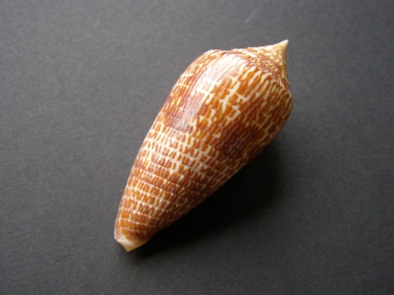 Conus (Phasmoconus) armadillo  Shikama, 1971 P3228411