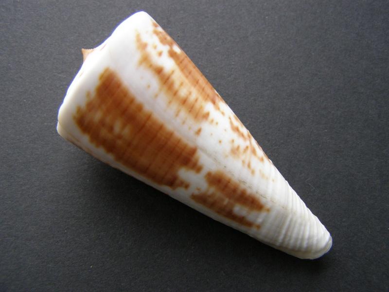 Les cones des Philippines... P3228419