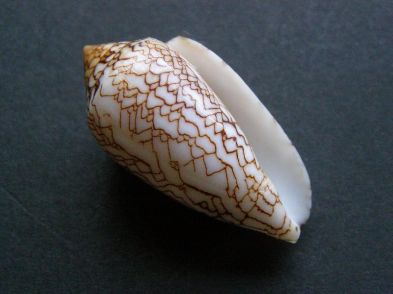 Conus (Cylinder) archiepiscopus scriptus  Sowerby II, 1858 P4038720