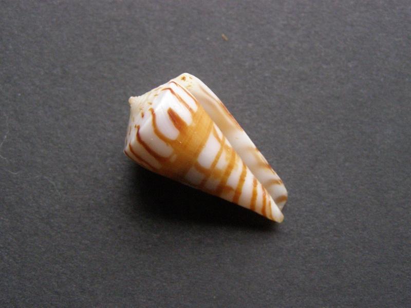 Conus (Klemaeconus) plinthis    Richard & Moolenbeek, 1988 P4048812