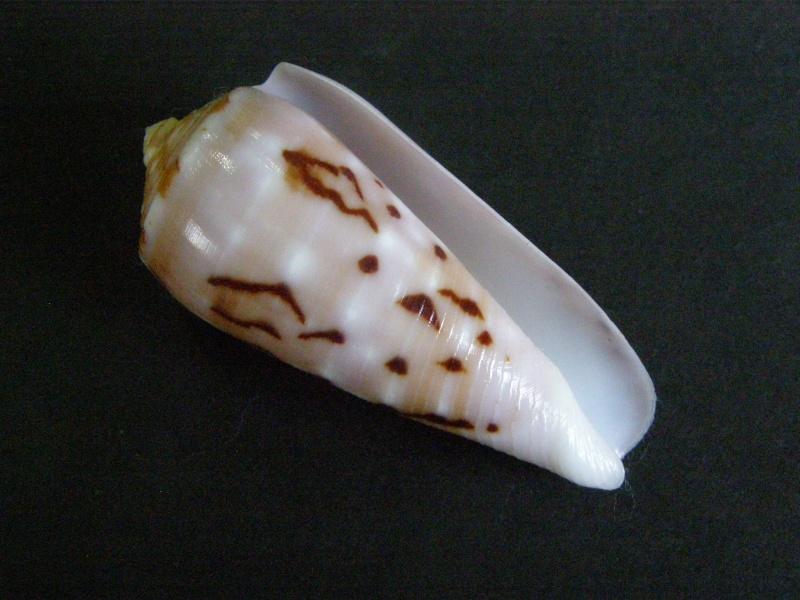 Conus (Pionoconus) floccatus   GB Sowerby I, 1841 - Page 4 P4088912
