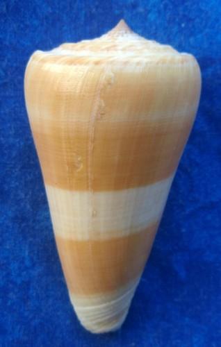Conus (Pionoconus) consors  GB Sowerby I, 1833 T2ec1624