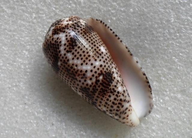 Conus (Pionoconus) stercusmuscarum   Linnaeus, 1758 T2ec1627