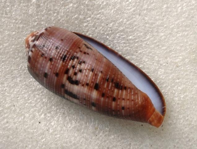 Conus (Pionoconus) circumcisus  Born, 1778 - Page 3 T2ec1673