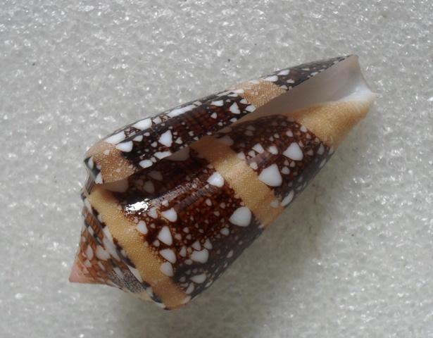 Conus (Cylinder) ammiralis  Linnaeus, 1758 - Page 3 T2ec1686