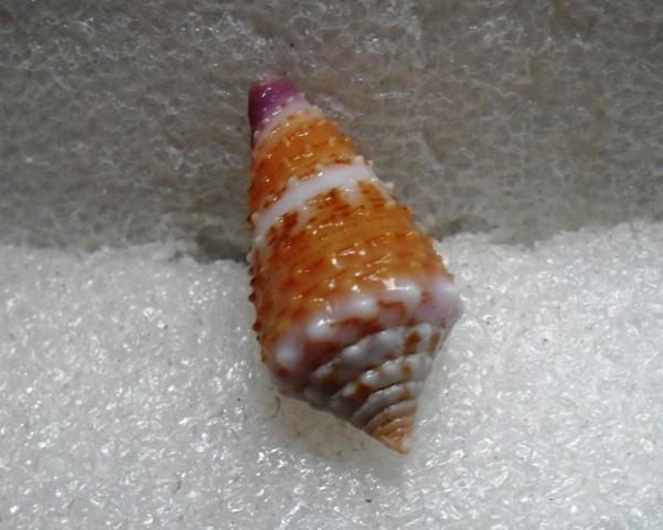 Conus (Lividoconus) floridulus  Adams & Reeve, 1848 T2ec1691