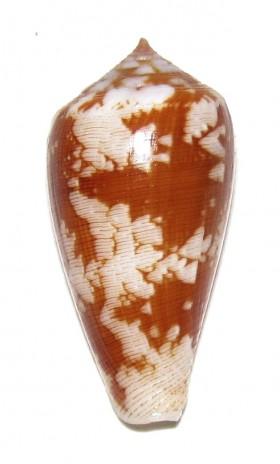 Conus (Pionoconus) fischoederi   Röckel & da Motta, 1983 Ts893810